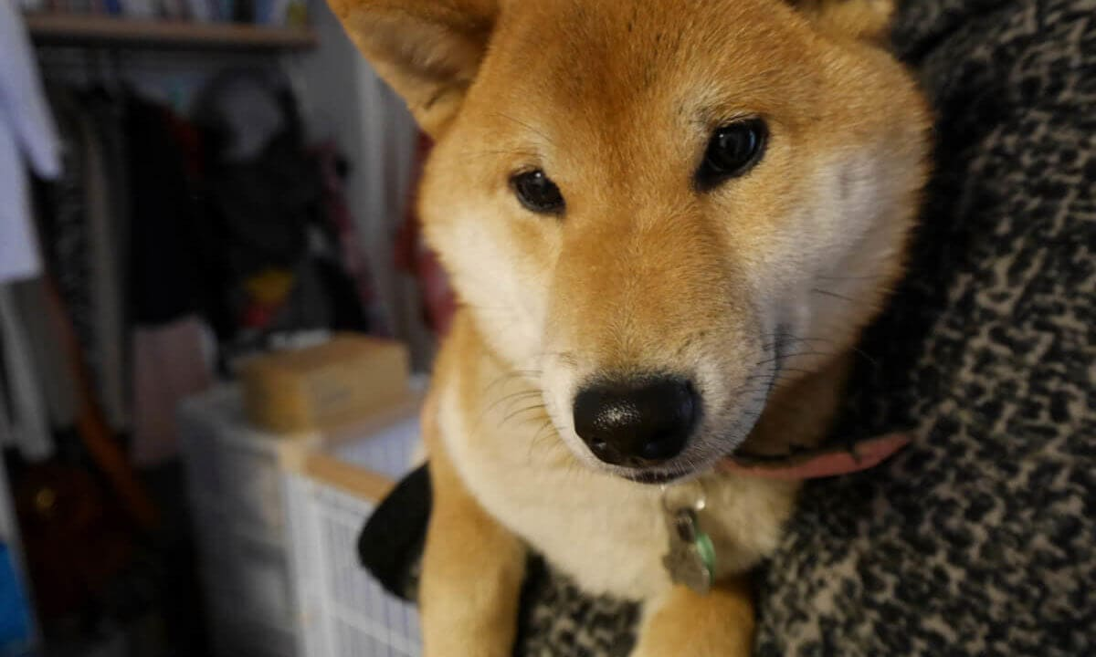 かわいい芝犬